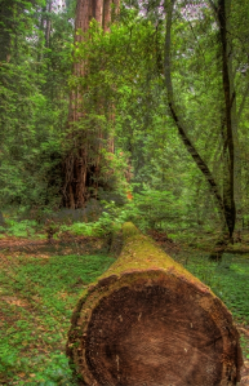 Redwood_1_hdr