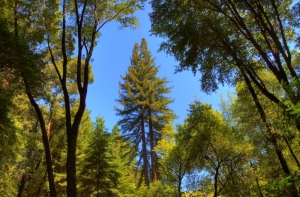 Redwood_3_hdr